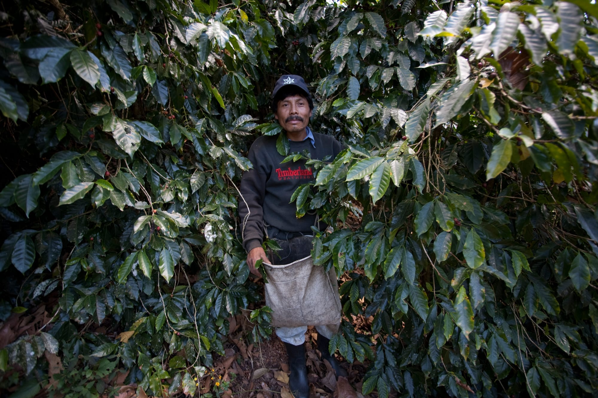Explorercoffee Kaffeebohnen werden gepflückt